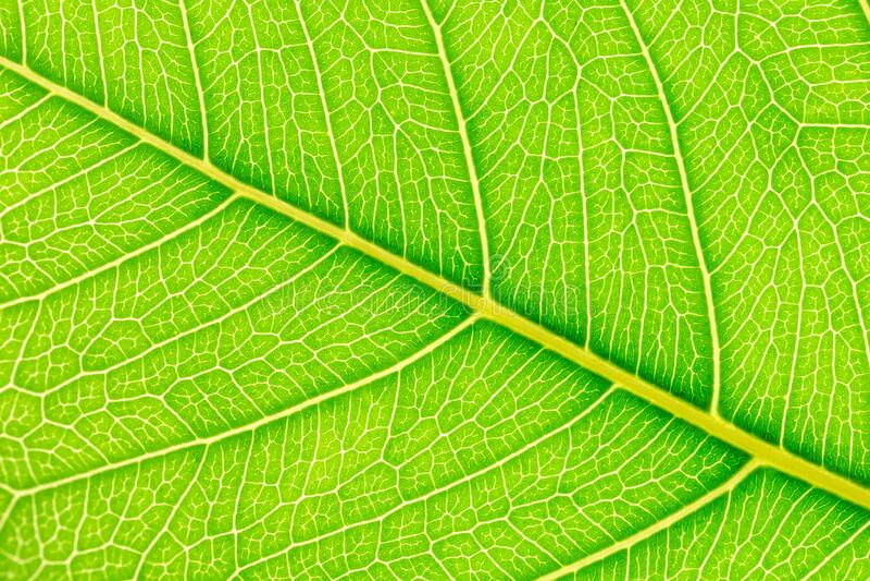 Green leaf background. Plant leaves for design royalty free stock image