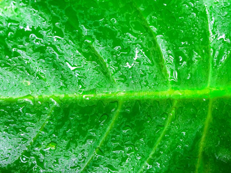 Green leaf background with water droplets royalty free stock photography