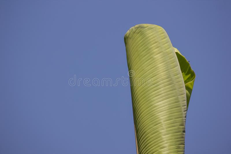 Green Leaf of banana tree stock photo