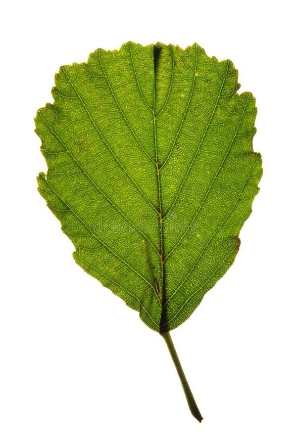 Green leaf of Black alder (Alnus glutinosa) isolat. Ed on white background stock image
