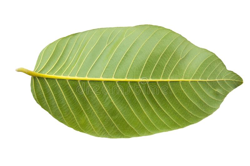 Green leaf on black background. leave royalty free stock photos