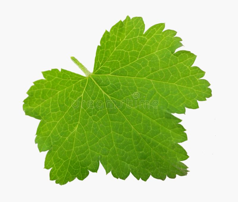 green leaf of black currant isolated on white background stock photo