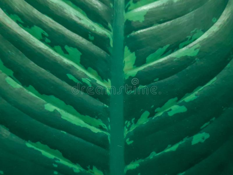 Green leaf blade and veins of the Dieffenbachia houseplant. Close-up view of leaf pattern. royalty free stock photography