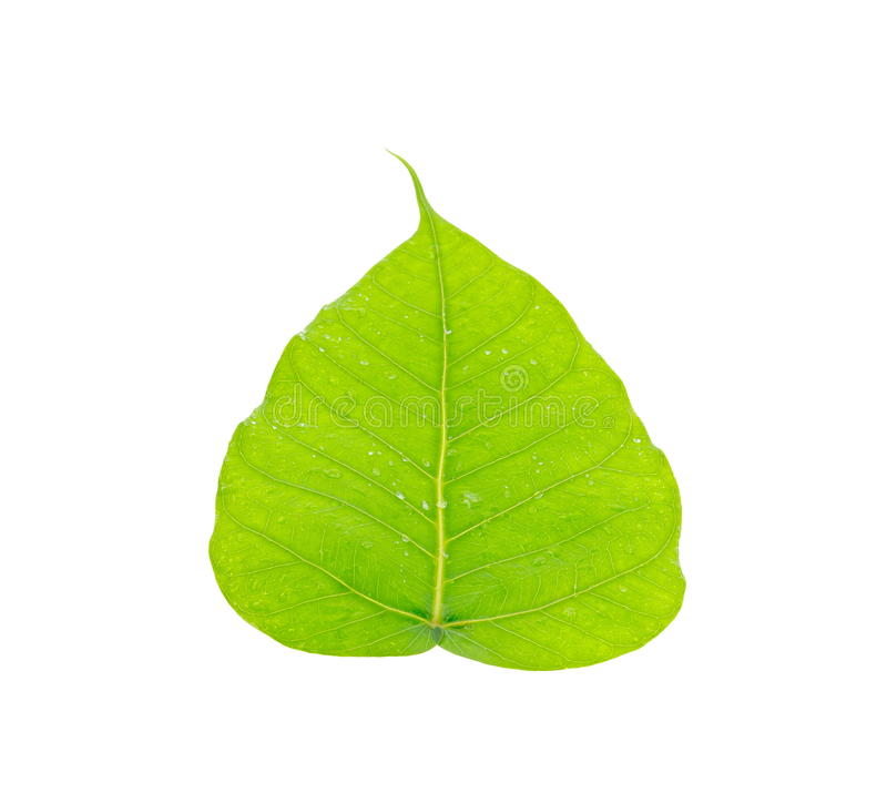 Green leaf of Bo Tree. Closeup of green leaf name is Bo Tree on white background stock image