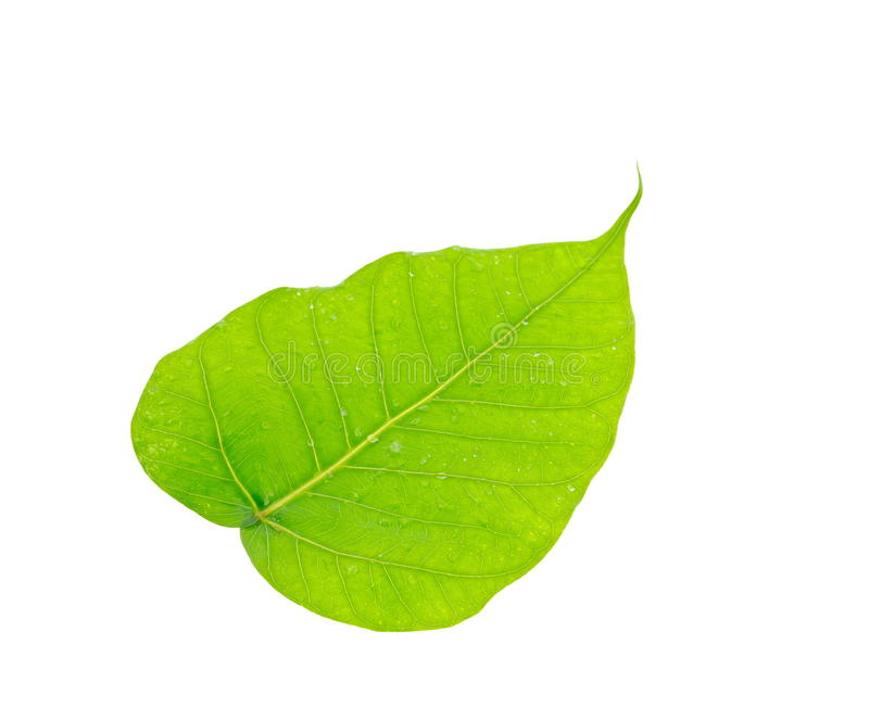 Green leaf of Bo Tree. Closeup of green leaf name is Bo Tree on white background royalty free stock image