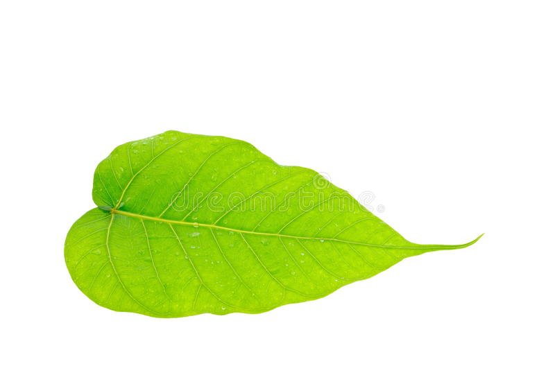 Green leaf of Bo Tree. Closeup of green leaf name is Bo Tree on white background stock photos