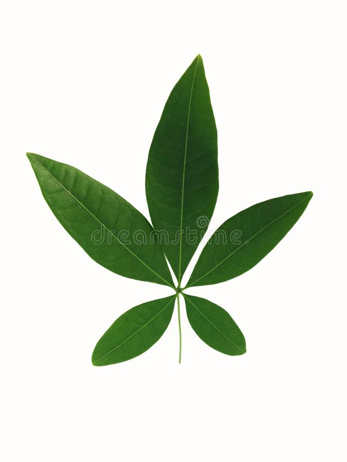 Green leaf of bombac, malabar chestnut five-points on white background royalty free stock photo