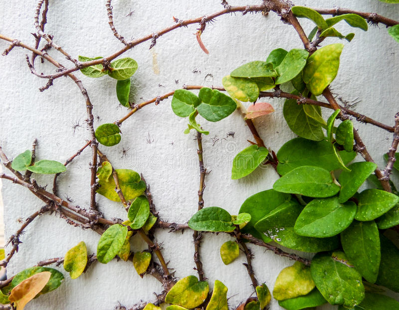 Green leaf border, Isolate of plant on the wall. In garden stock images