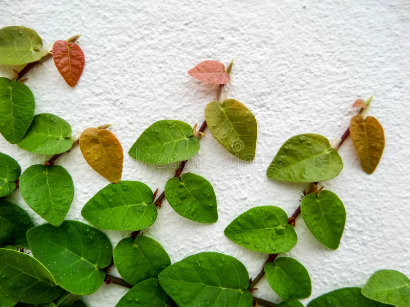 Green leaf border, Isolate of plant on the wall. In garden stock image