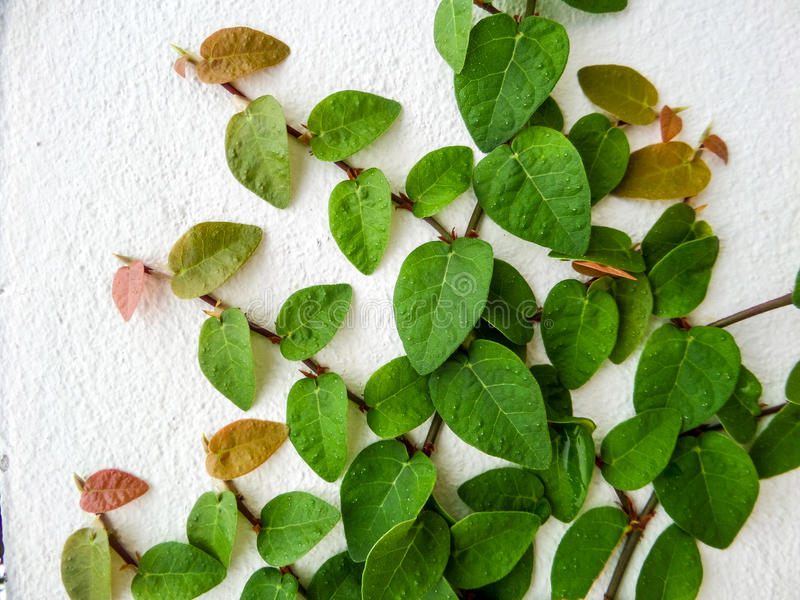 Green leaf border, Isolate of plant on the wall in garden. Green leaf border, Isolate of plant on the wall in the garden royalty free stock photo