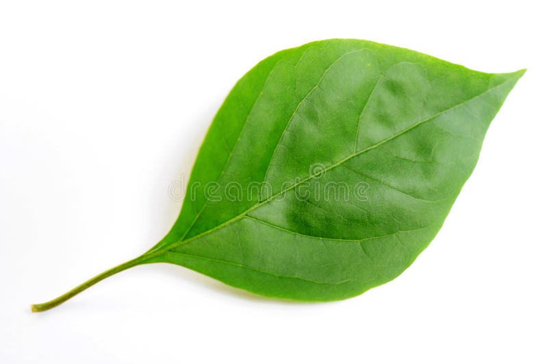 Green leaf of bougainvillea spectabilis wind. Isolated on a white background stock image