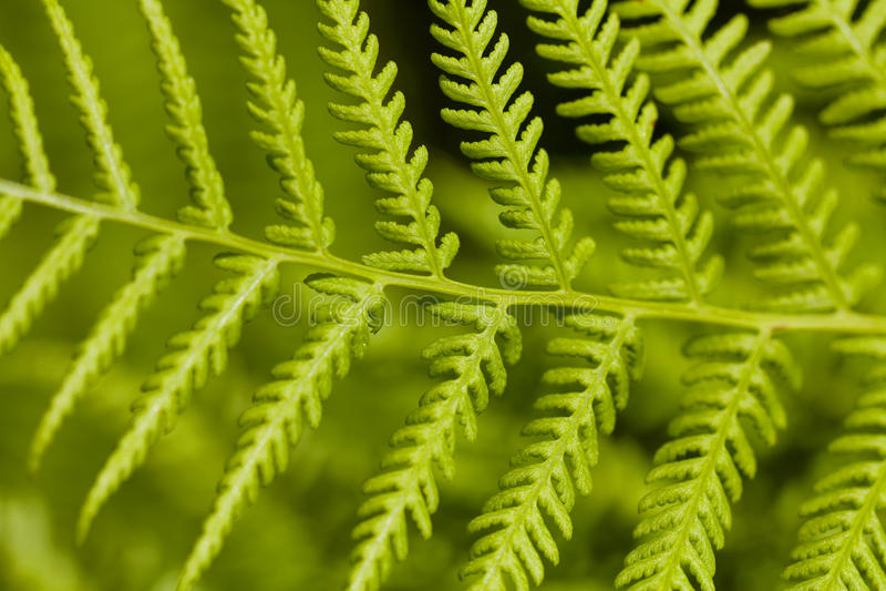 Green Leaf of Bracken (Pteridium) stock images