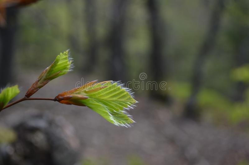 Green leaf on a branch in the forest. Close up royalty free stock photo