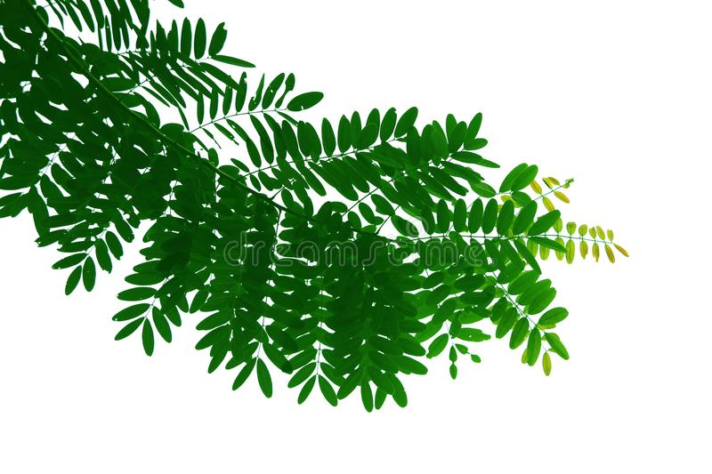 Green leaf and branch of tree, shape isolated on white background. royalty free stock photo