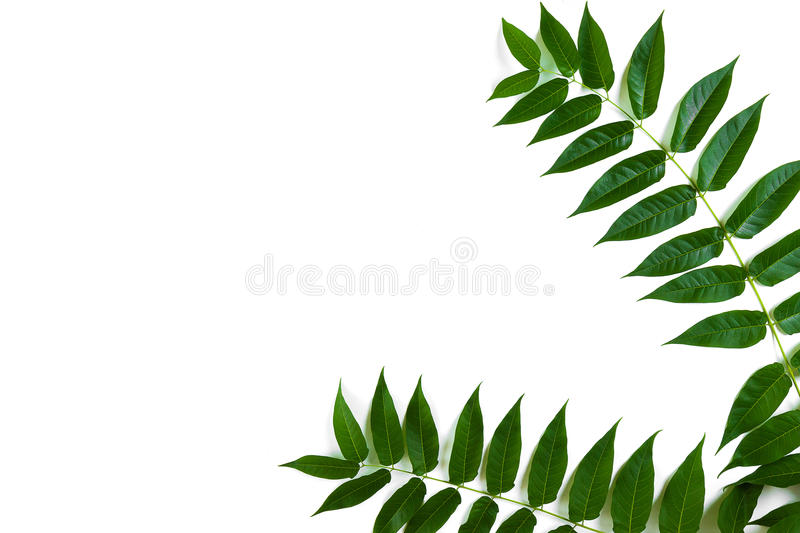 Green leaf branches on white background. flat lay, top view stock photo