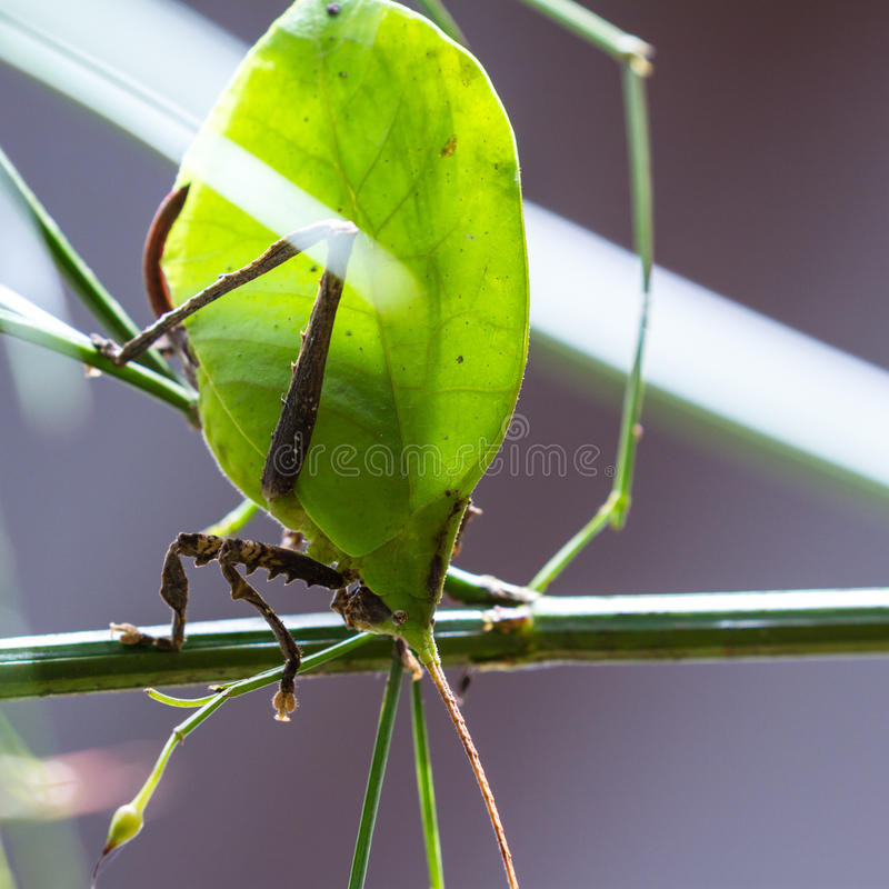 Green leaf bug - katydid royalty free stock photography