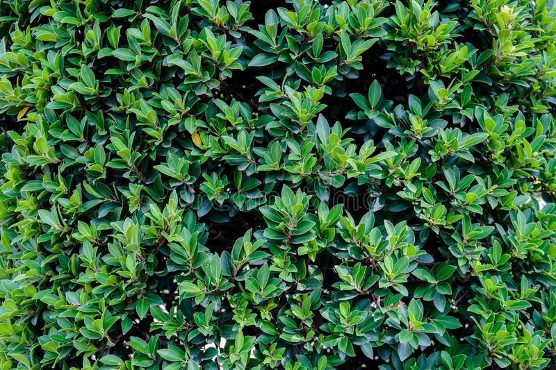 Green leaf bush for background textured usage. Plant green background stock photos