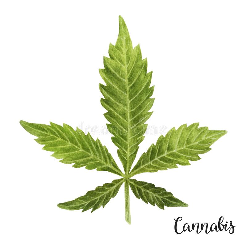 A green leaf of Cannabis medicinal plant hand drawn watercolor painting illustration isolated on a white background. vector illustration