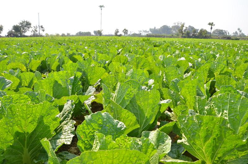 Green leaf Chinese cabbage vegetable planting crop, agricultural farm royalty free stock images
