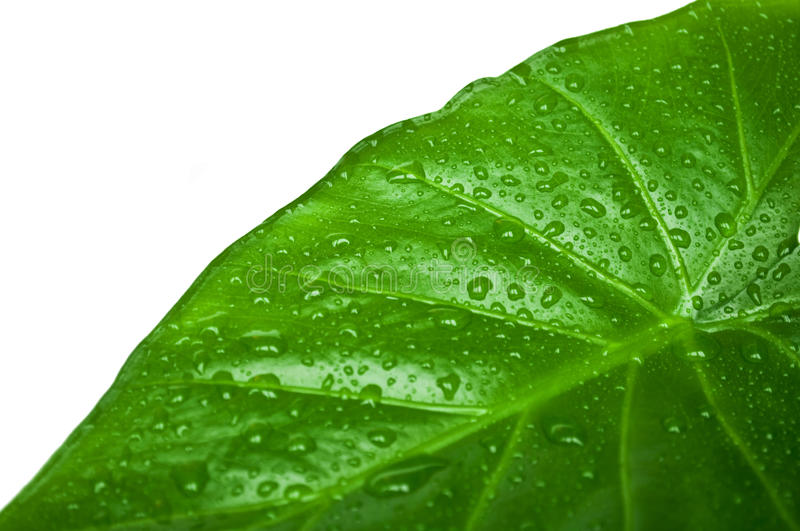 Download Green leaf - close-up stock photo. Image of pattern, droplets - 12722196