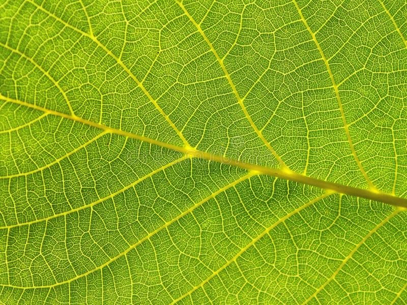 Green leaf close-up background royalty free stock photography