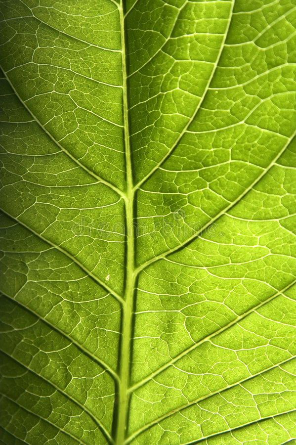Free Green Leaf Closeup Stock Photography - 2681552