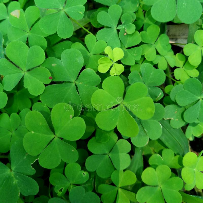 green leaf clover plant texture closeup background green leaf clover plant texture closeup backgrounds nature abstract texture