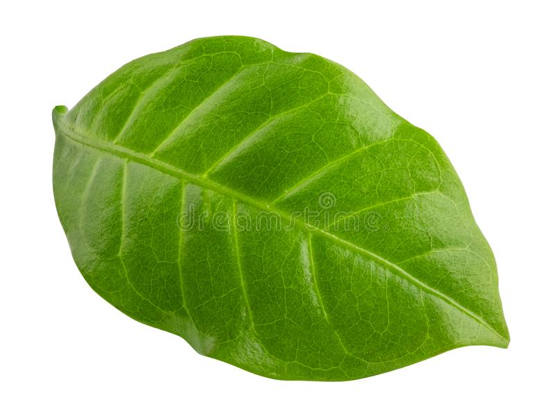 Green leaf of coffee isolated on white background. Clipping path stock image