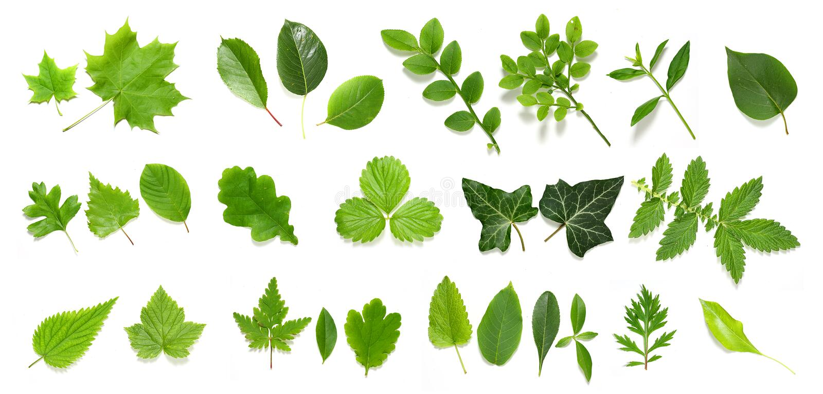 Green leaf collection royalty free stock photos