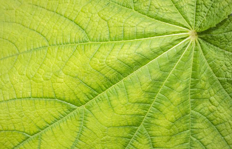 Green leaf detail. Full frame abstract green plant leaf closeup royalty free stock photography