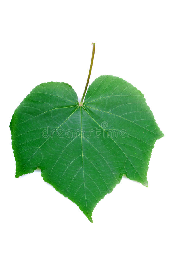 Green leaf diagram. Green leaf with veins isolated on white background royalty free stock photo