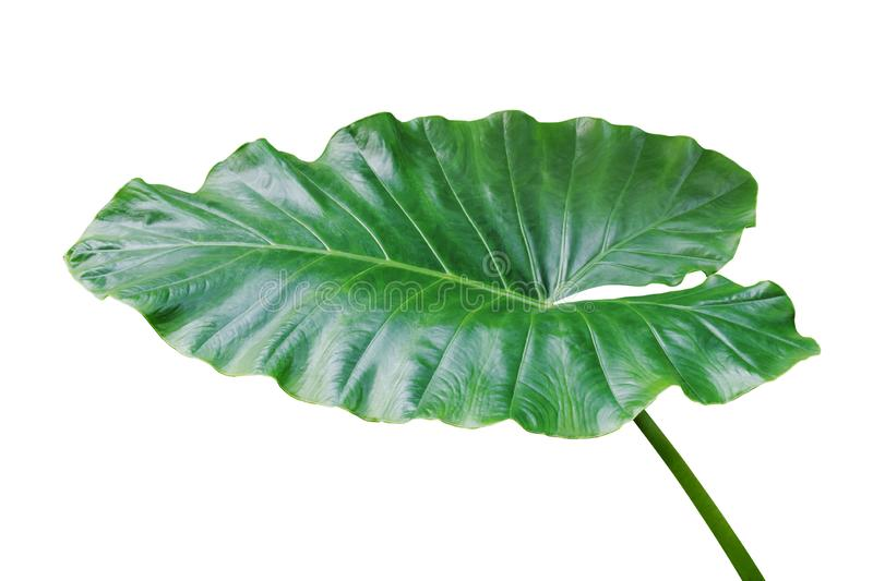 Green Leaf of Elephant Ear Plant Isolated on White Background with Clipping Path stock photos