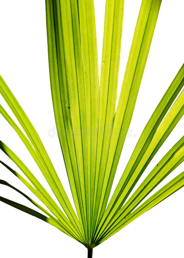 Download Green leaf of fan palm stock photo. Image of color, object - 7676294