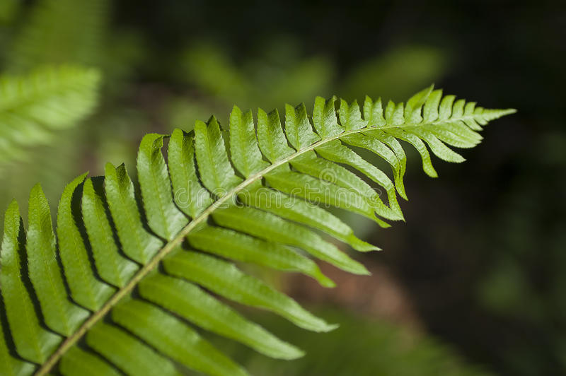 Green leaf fern on soft background of ferns with sunlight beaming on fern. royalty free stock photo