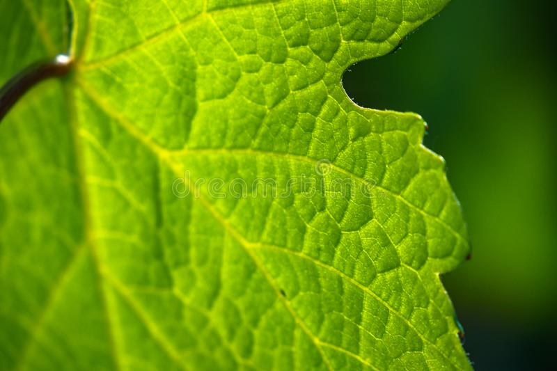 Green chlorophyll where the leaf performs photosynthesis stock photo