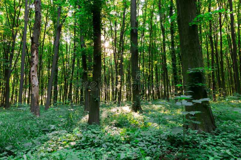 Green leaf forest royalty free stock images