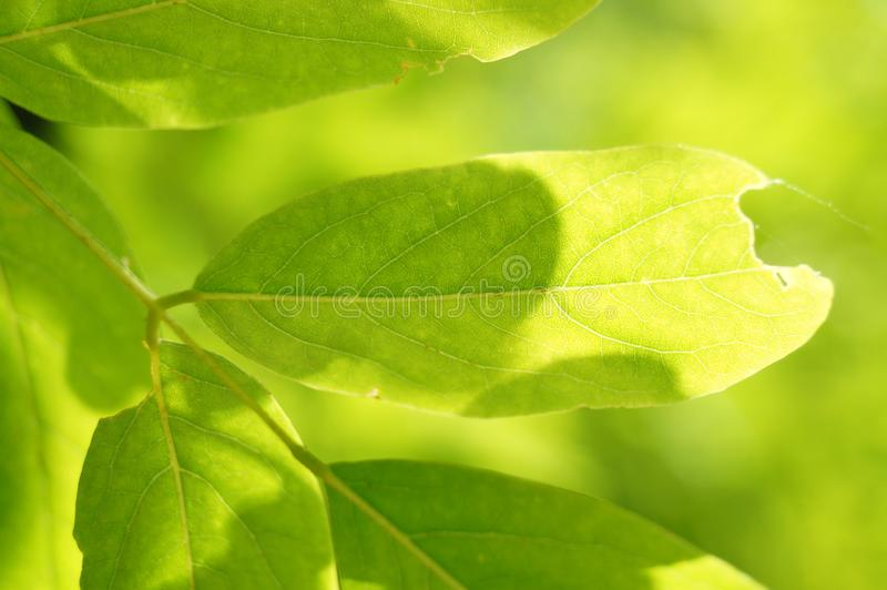 A green leaf glows in the sun. The edge of the leaf is damaged by an insect royalty free stock image