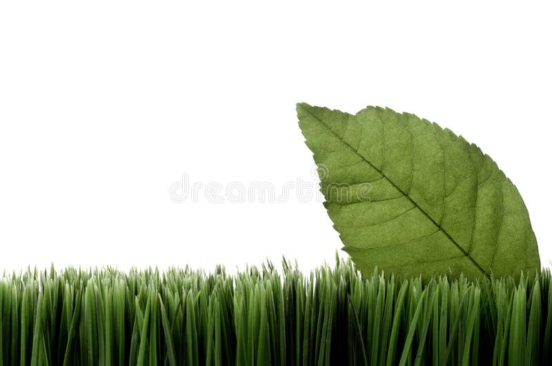 A green leaf on grass on white. Horizontal image of a green leaf on grass on white with space for copy royalty free stock photo