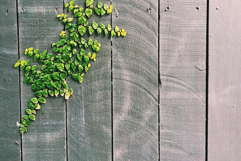 Green Leaf on Gray Wooden Fence stock photos