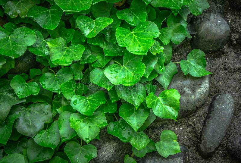 Green Leaf on Ground Besides Black Stones royalty free stock photography