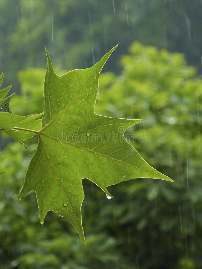 Green leaf with hanging raindrop macro on royalty free stock photography