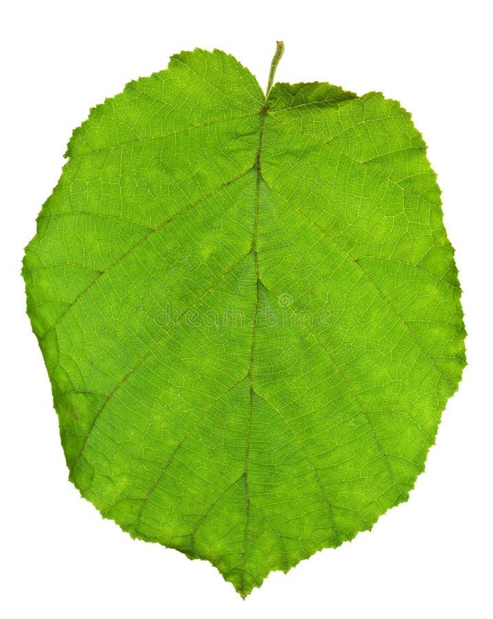 Green leaf of hazel tree royalty free stock image