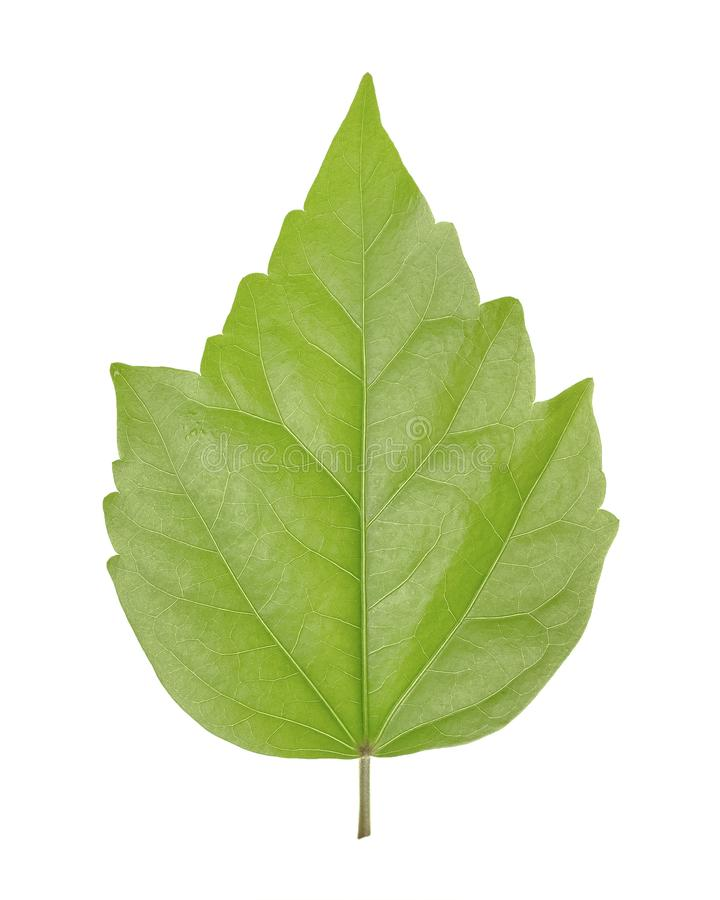 Green leaf of Hibiscus is a genus of flowering plants in Mallow family, Malvaceae isolated on white background.  stock photography