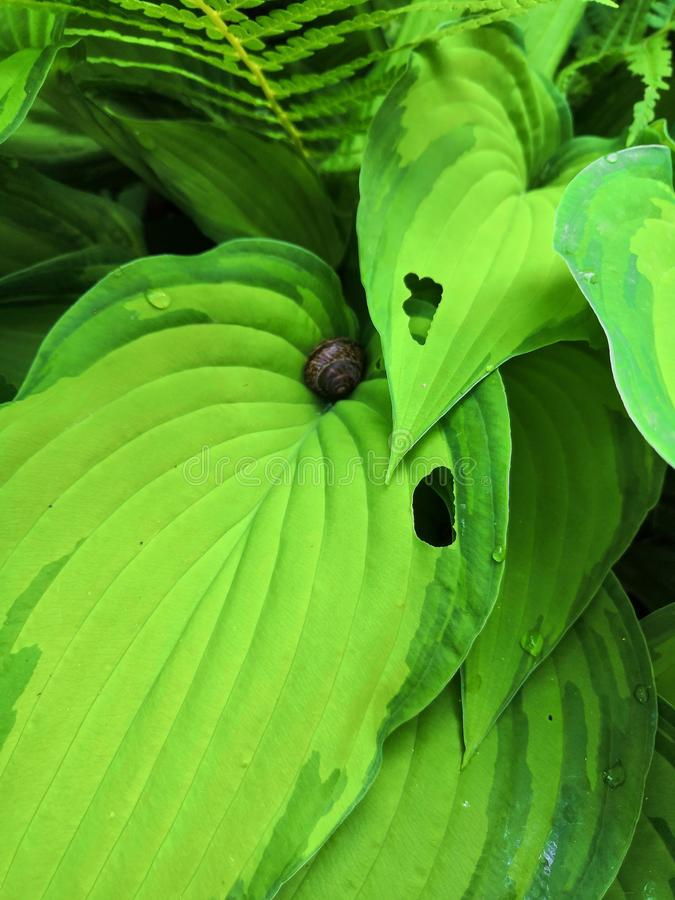Green leaf hosts and snail close up background. Fresh green leaves of host plants in the garden, sheet of hosta close up, host leaves, green background, macro stock images