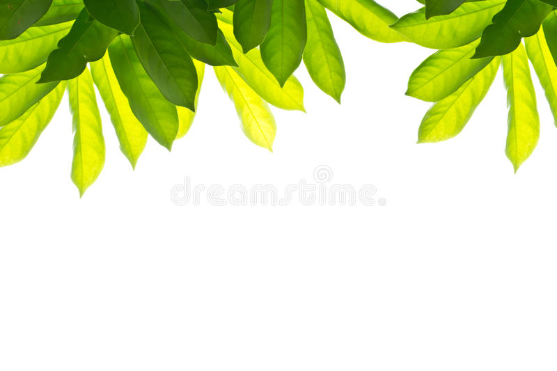 Download Green-leaf-on-a-isolate Stock Photo - Image: 25958970