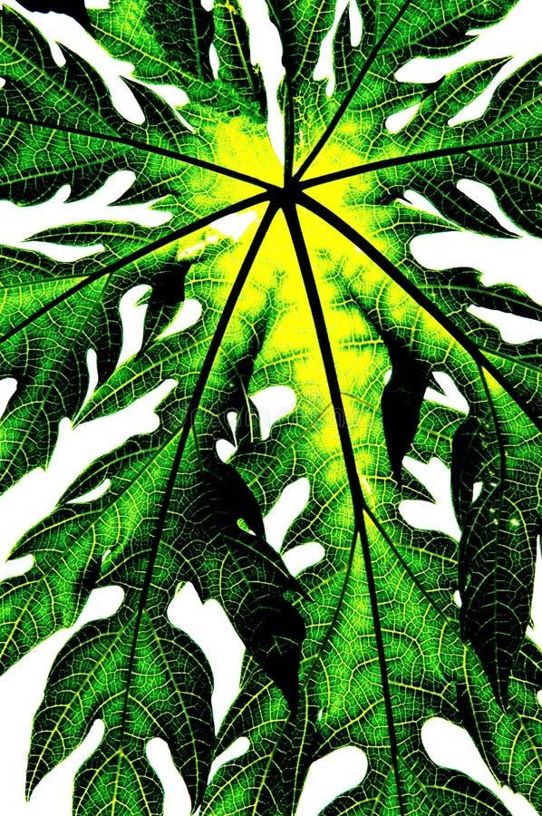 Green leaf isolate (papaya leaf). Green leaf isolate on white background / papaya leaf royalty free stock photography