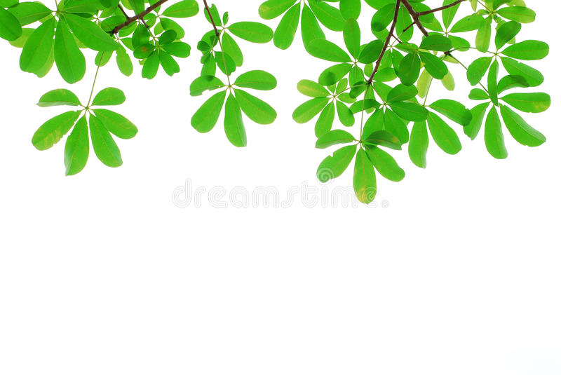 Green Leaf Isolated In Nature Royalty Free Stock Image