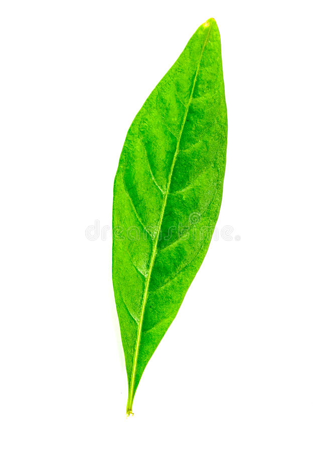 Download Green Leaf Isolated Stock Image - Image: 32385651