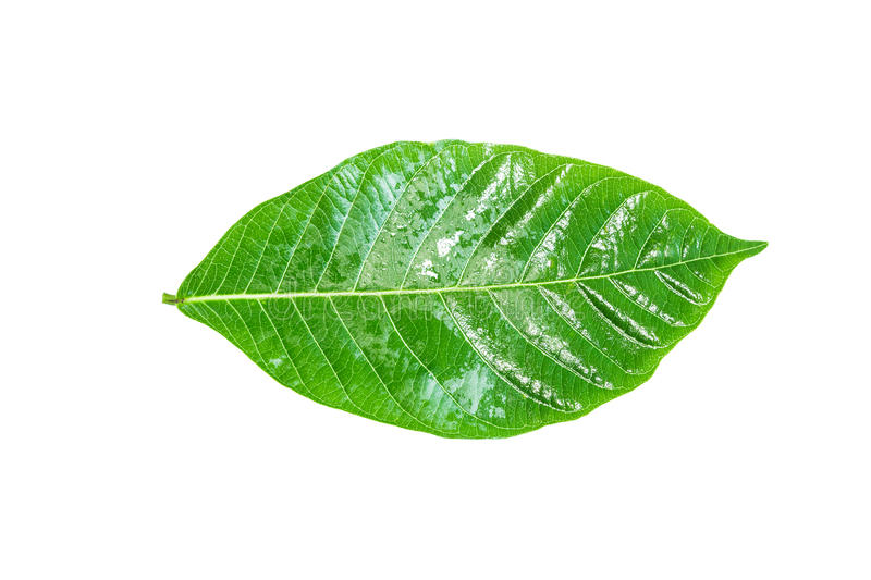 Green leaf. Isolated on a white. royalty free stock photography