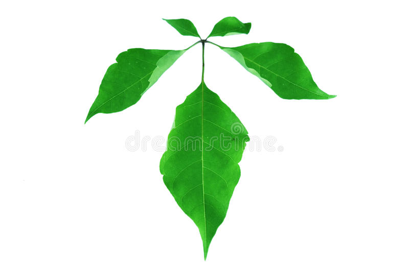 Green leaf isolated on white royalty free stock photos